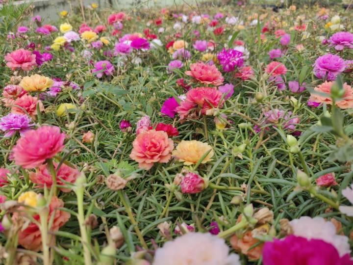 How to grow Portulacas in yourgarden?